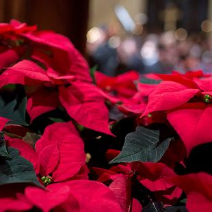 A close up of the red  poinsettias lining the stage.