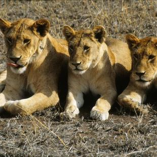Three lions in a row in Africa.
