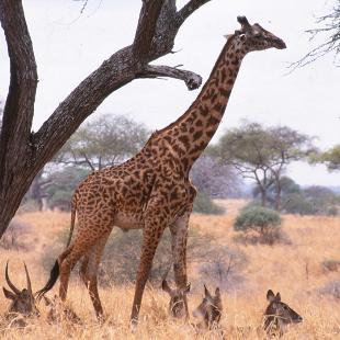 A giraffe in Africa.